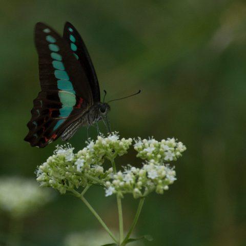 papillons-sp-11