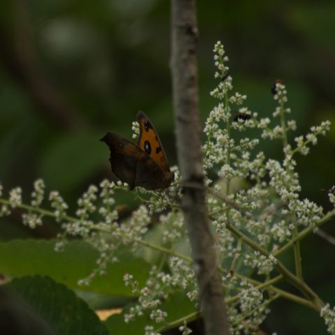 papillons-sp-2