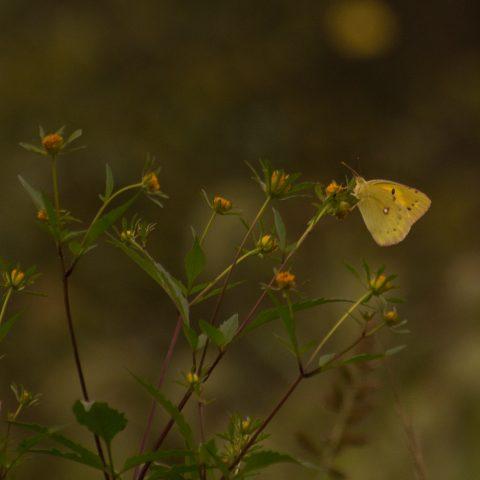papillons-sp