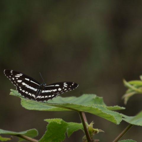 papillons-sp-6