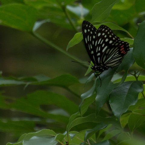 papillons-sp-8