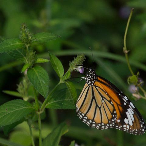 papillons-sp-9