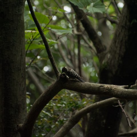 oiseaux-yakushima-5