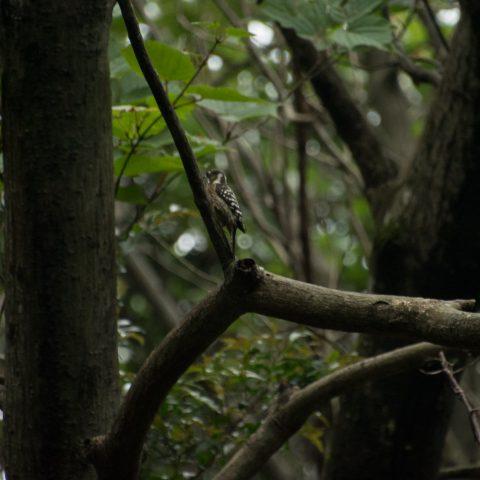 oiseaux-yakushima-6