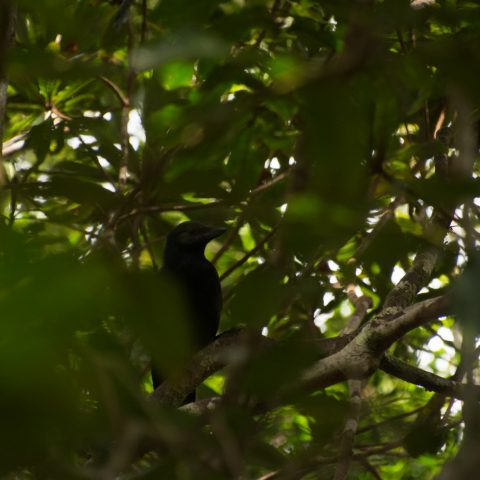 corbeau-caledonien-2