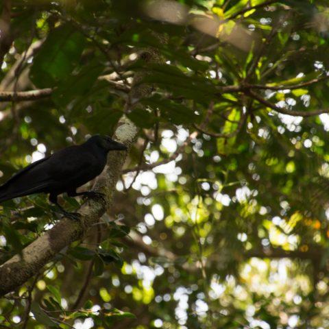 corbeau-caledonien
