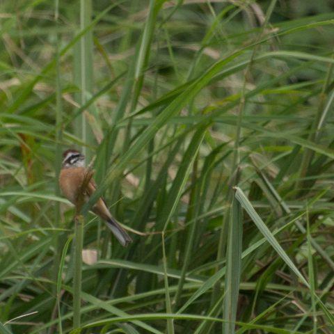 oiseaux-yakushima-2