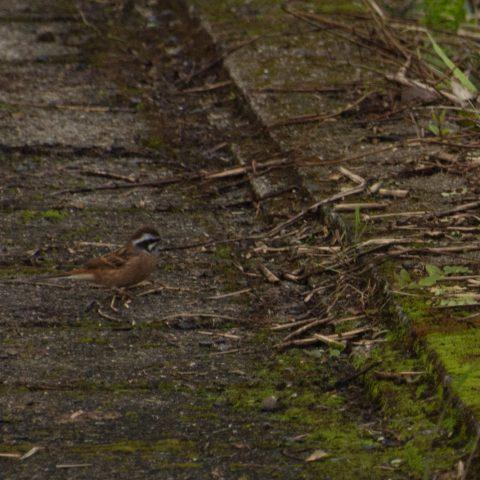 oiseaux-yakushima-3