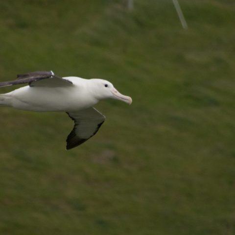 albatros-de-sanford-2