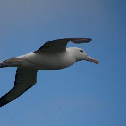 albatros-de-sanford-3