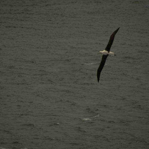 albatros-de-sanford-4