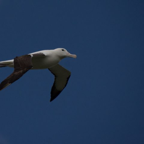 albatros-de-sanford