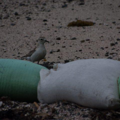 Charadrius, obscurus, Oiseau