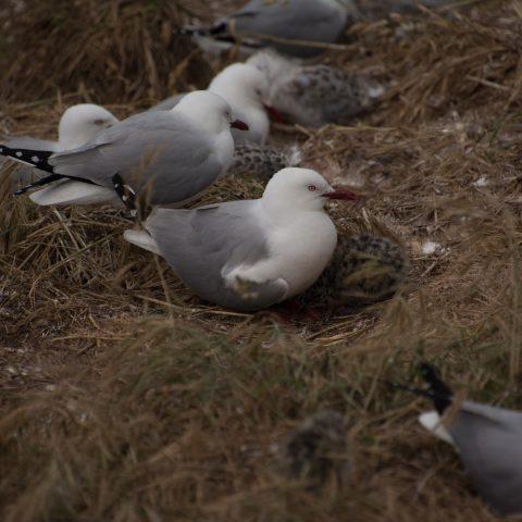 Larus, novaehollandiae, Oiseau