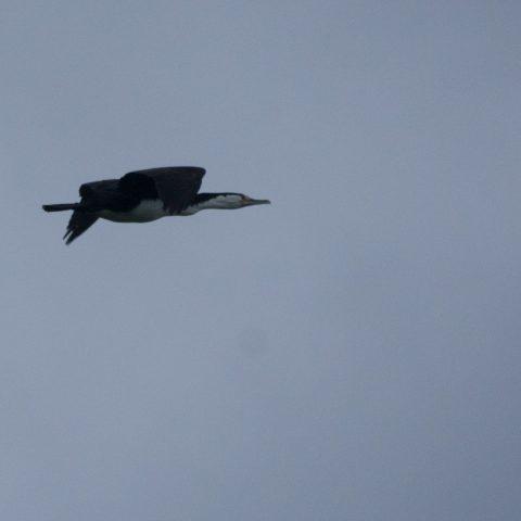 Oiseau, Phalacrocorax, varius