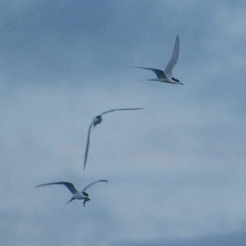 Oiseau, Sterna, striata