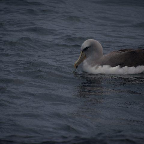 Oiseau, salvini, Thalassarche-2