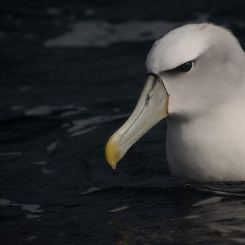 Oiseau, steadi, Thalassarche-10