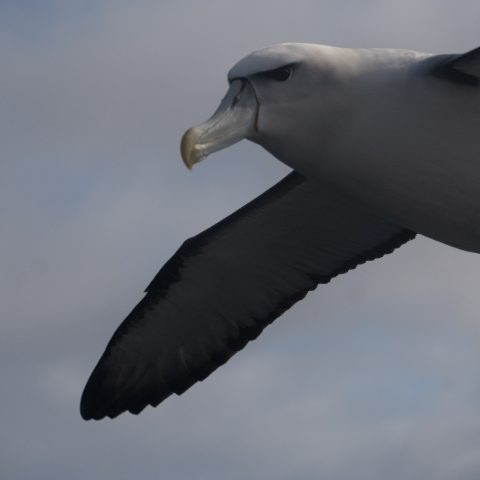 Oiseau, steadi, Thalassarche-2