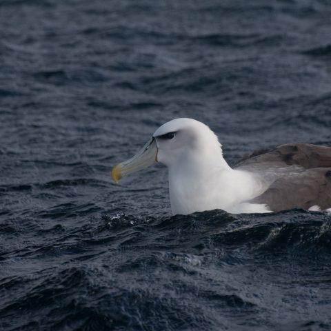 Oiseau, steadi, Thalassarche-4