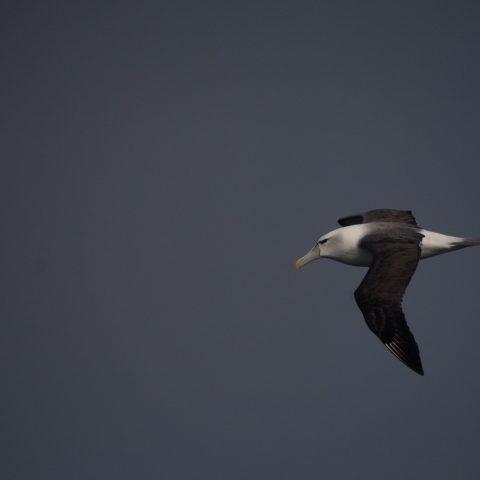 Oiseau, steadi, Thalassarche-5