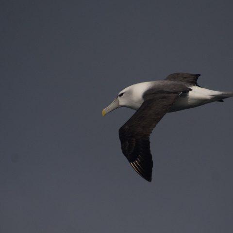 Oiseau, steadi, Thalassarche-6