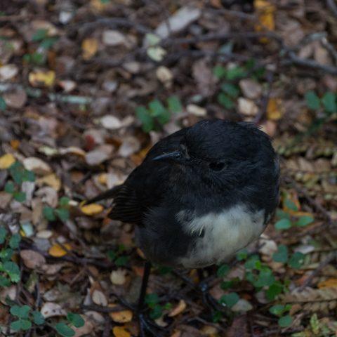 s-isld-robin