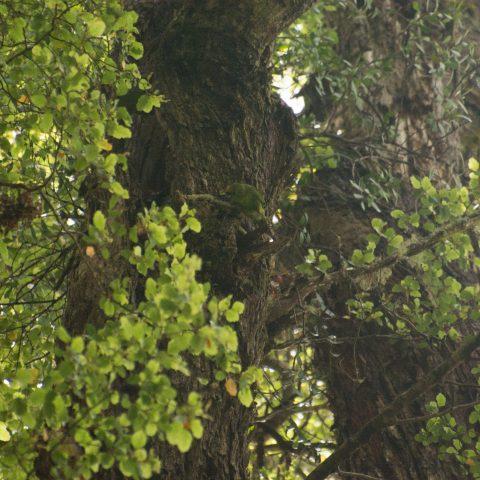 yc-parakeet