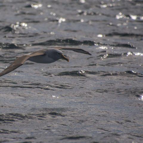 bulleri, Oiseau, Thalassarche-2
