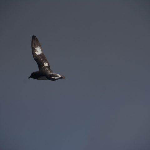 capense, Daption, Oiseau-2