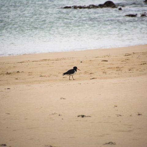 finschi, Haematopus, Oiseau-2