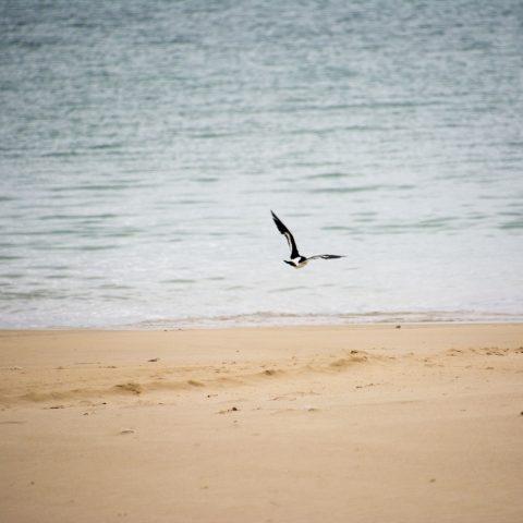 finschi, Haematopus, Oiseau-4