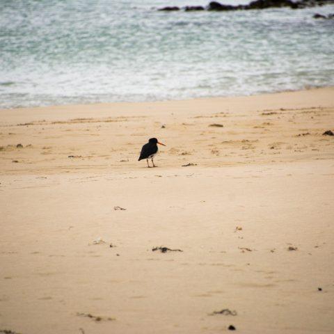 finschi, Haematopus, Oiseau
