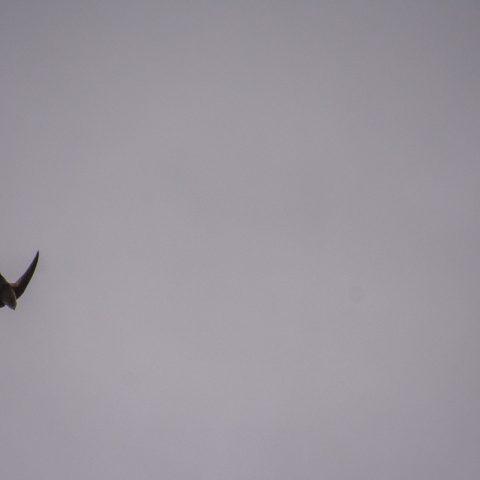 Aeronotes, andecolus, Oiseau-5