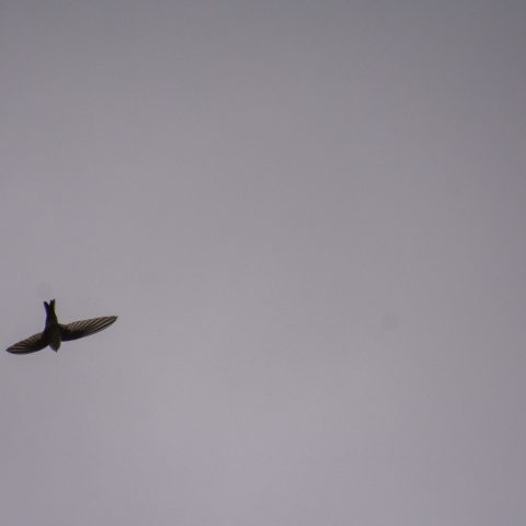 Aeronotes, andecolus, Oiseau-6