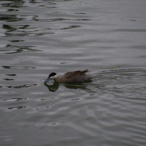 Anas, Oiseau, puna