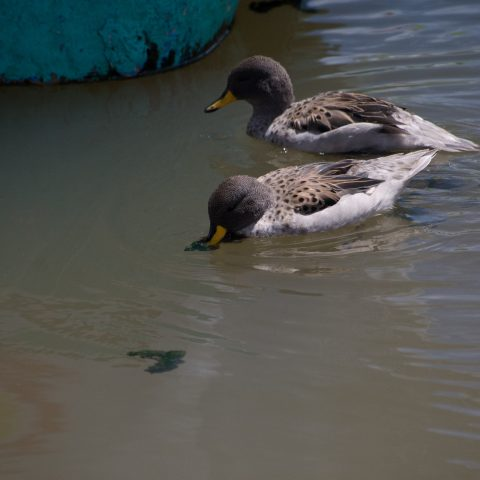 Anas, flavirostris, Oiseau-3