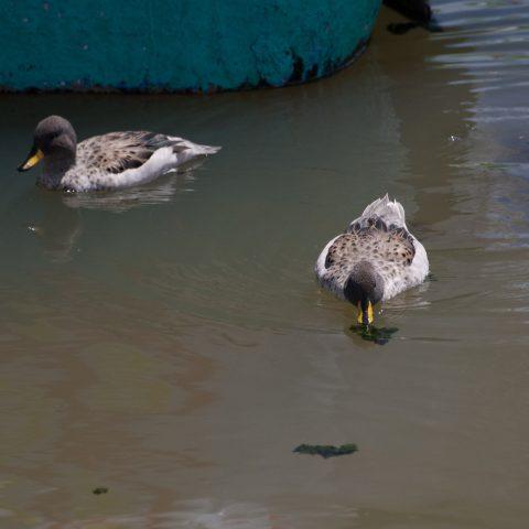Anas, flavirostris, Oiseau-4