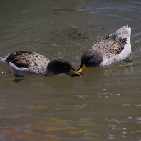 Anas, flavirostris, Oiseau-5