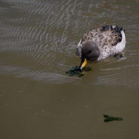 Anas, flavirostris, Oiseau-7