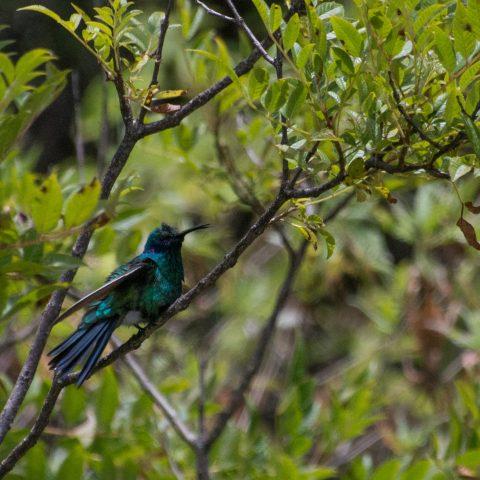 Colibri, coruscans, Oiseau-2