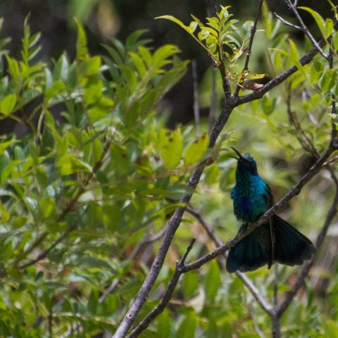 Colibri, coruscans, Oiseau-3