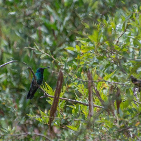 Colibri, coruscans, Oiseau-4