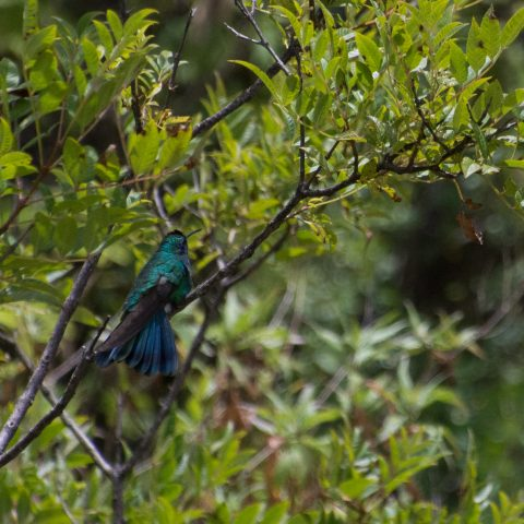 Colibri, coruscans, Oiseau