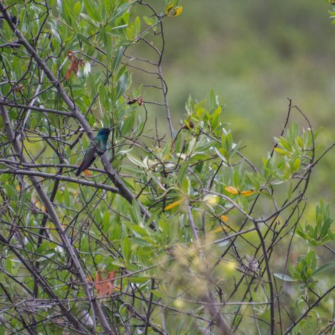 Colibri, coruscans, Oiseau-5