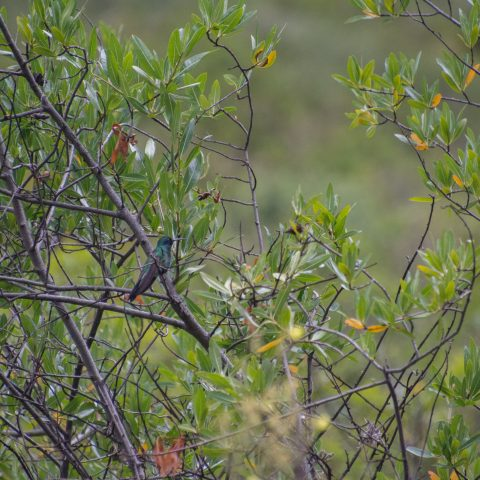 Colibri, coruscans, Oiseau-6
