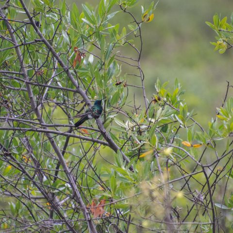 Colibri, coruscans, Oiseau-7