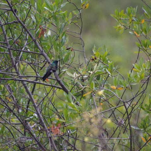 Colibri, coruscans, Oiseau-8