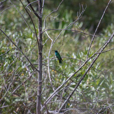 Colibri, coruscans, Oiseau-9