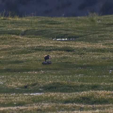 Courlis esquimau